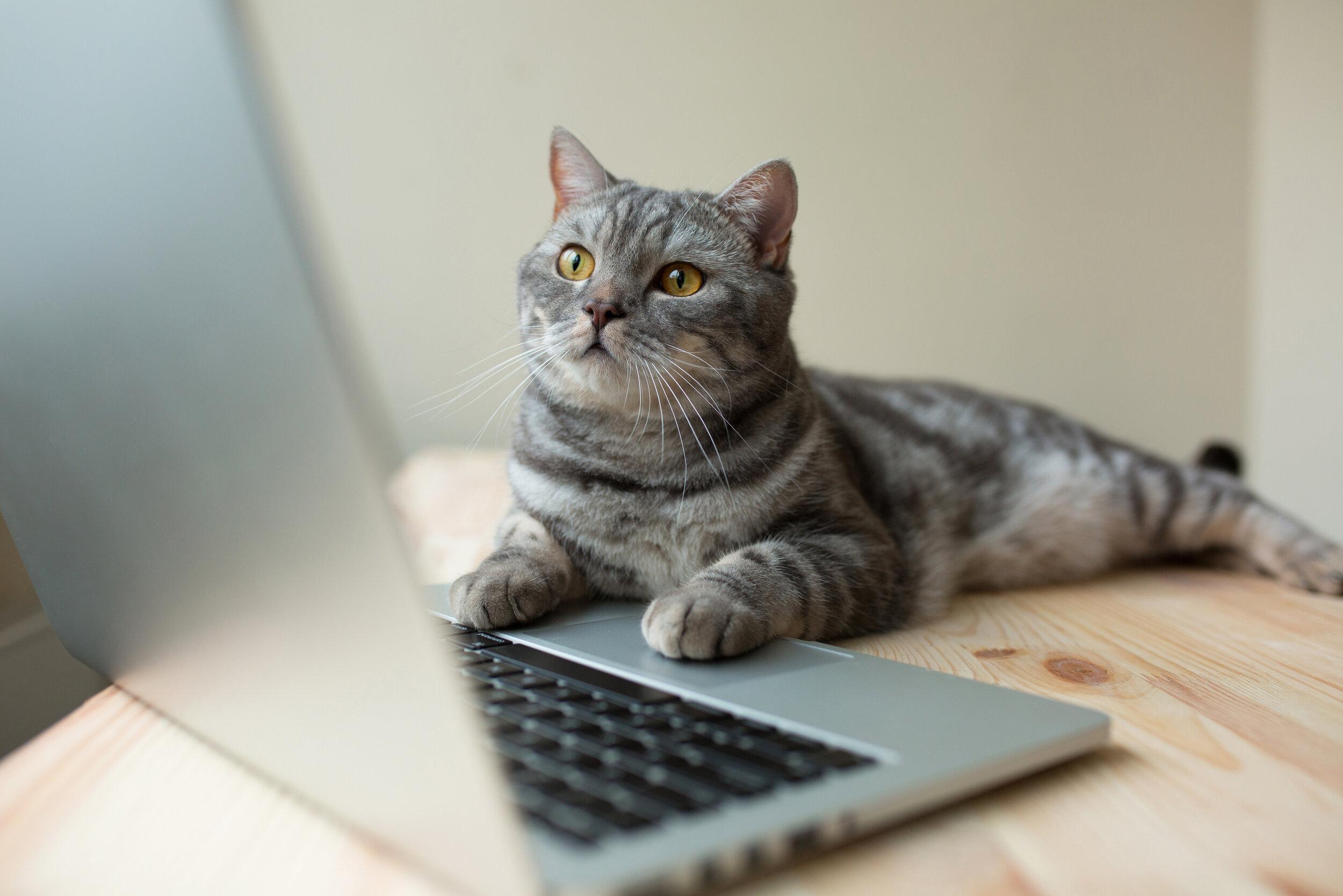 CAT LAP TOP.jpeg