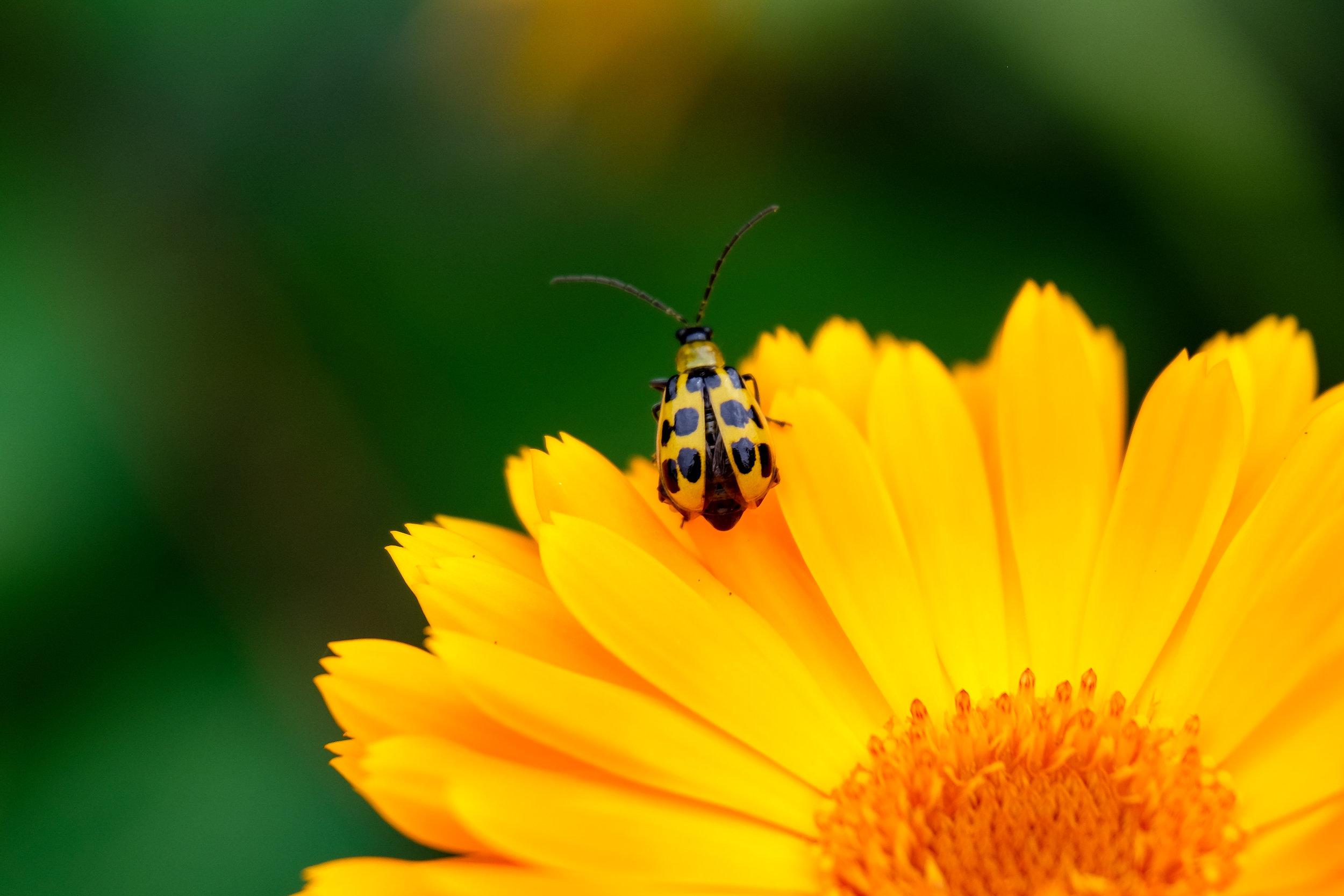 Cucumber Beetle on Calendula