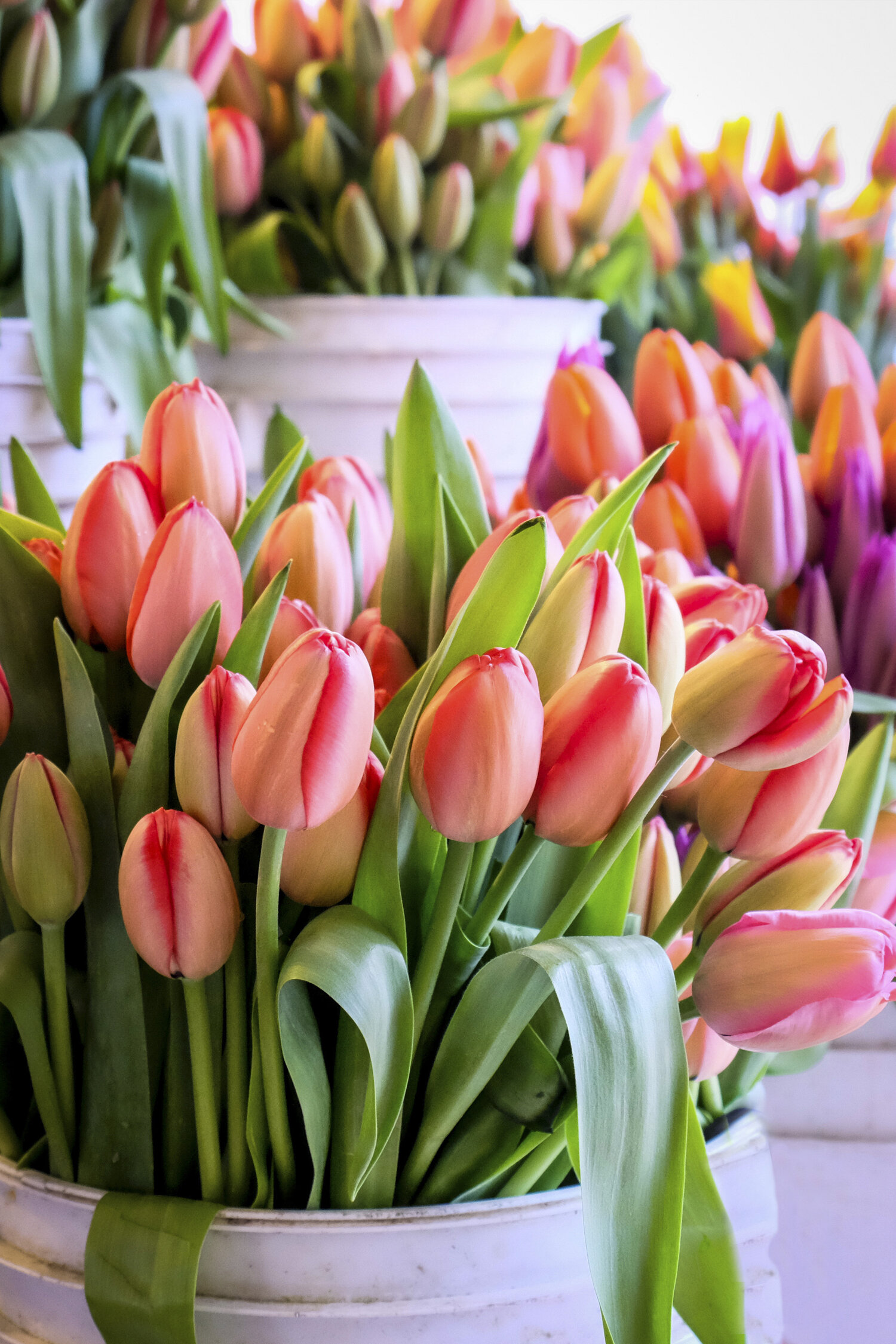 Tulips at Pike Place Market Seattle