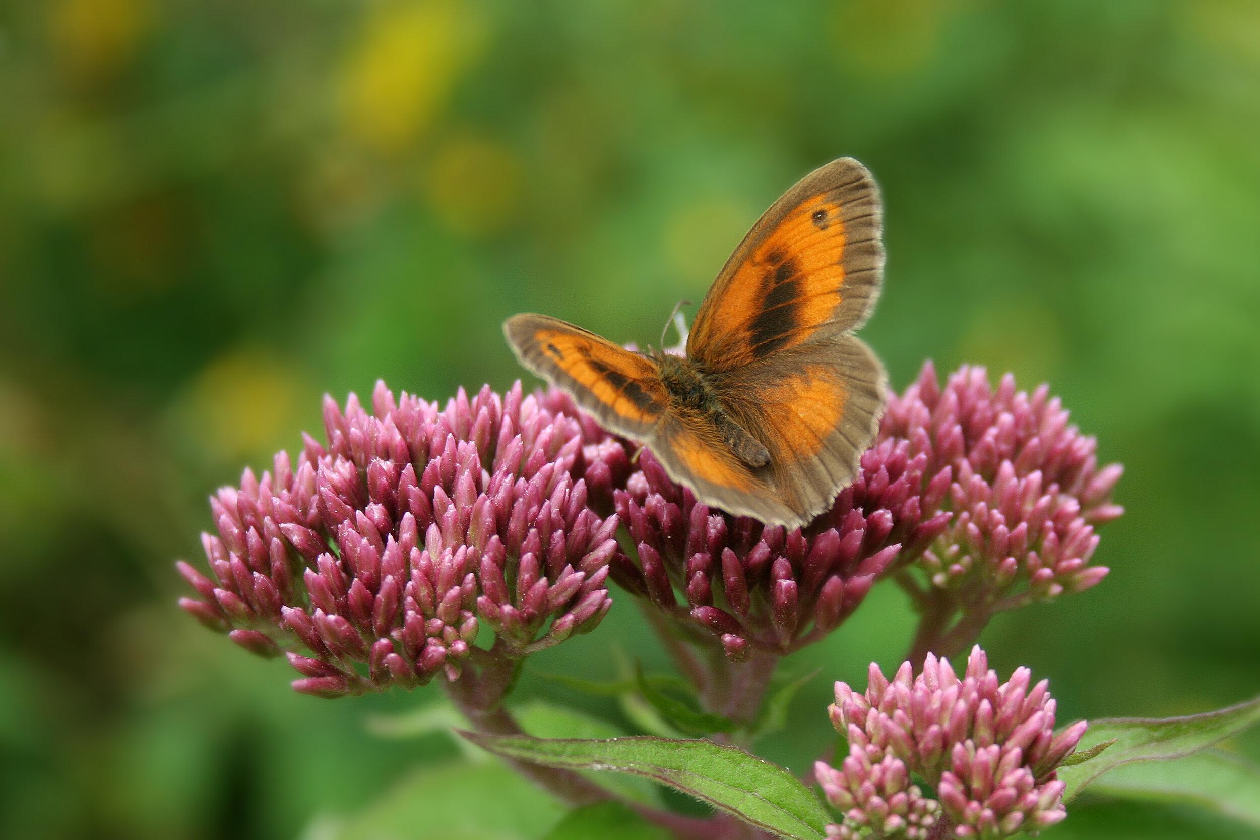 Gatekeeper butterfly, Tortington