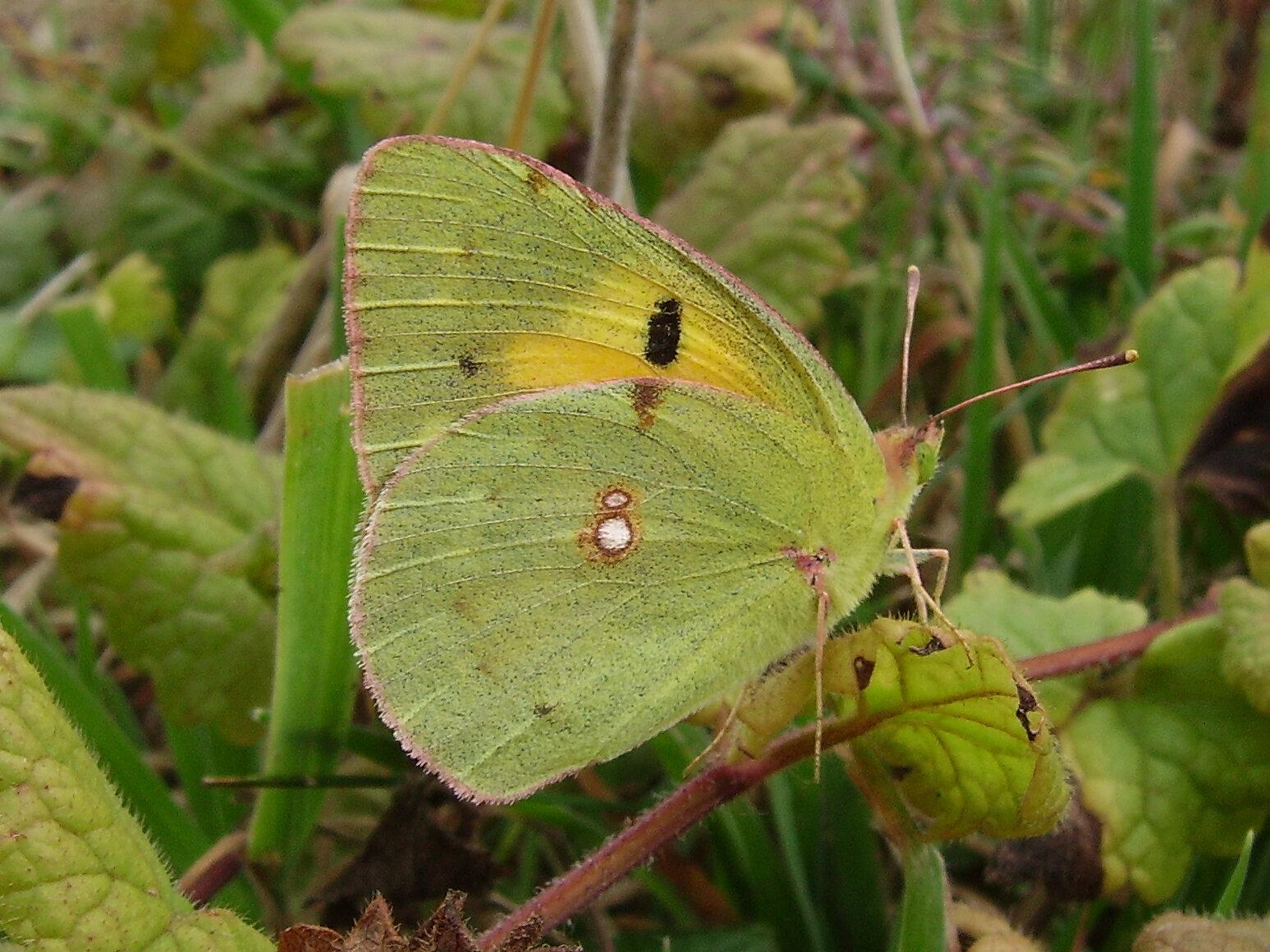 Clouded yellow underside butterfly, Tortington