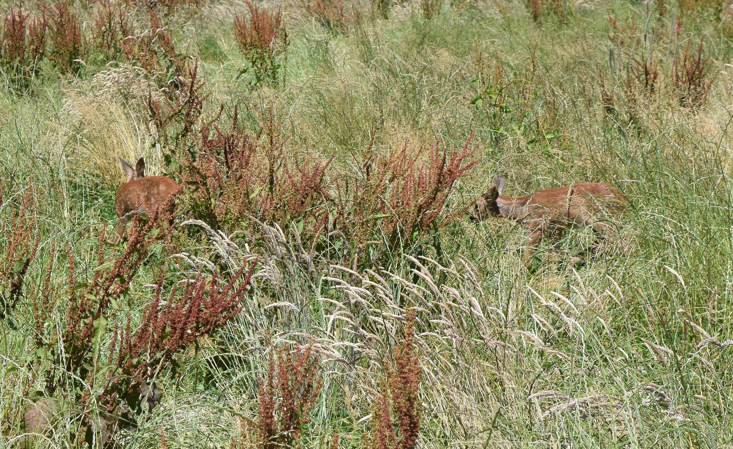 Deer in Binsted Park