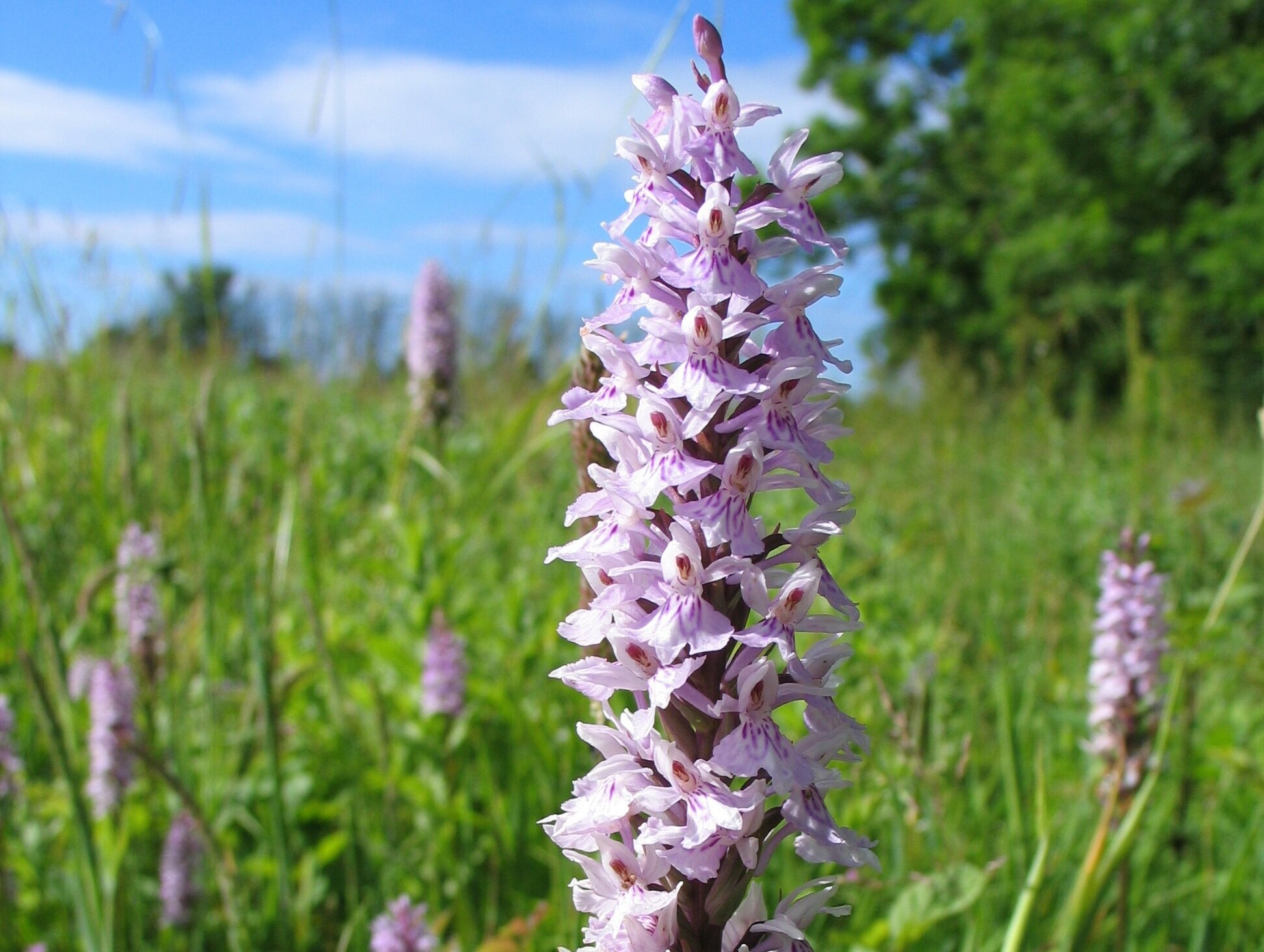 Common spotted orchids, Tortington