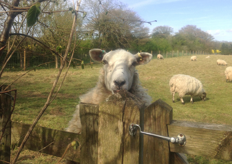 Downland sheep, Binsted