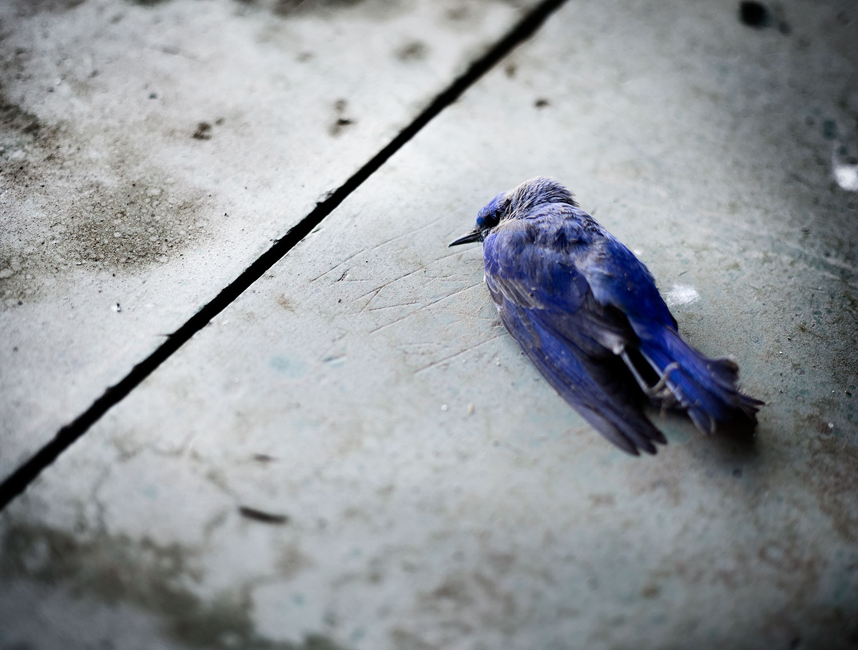 bluebird_finalprint.jpg