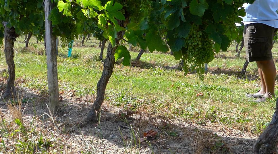 Lewis in the Vineyard