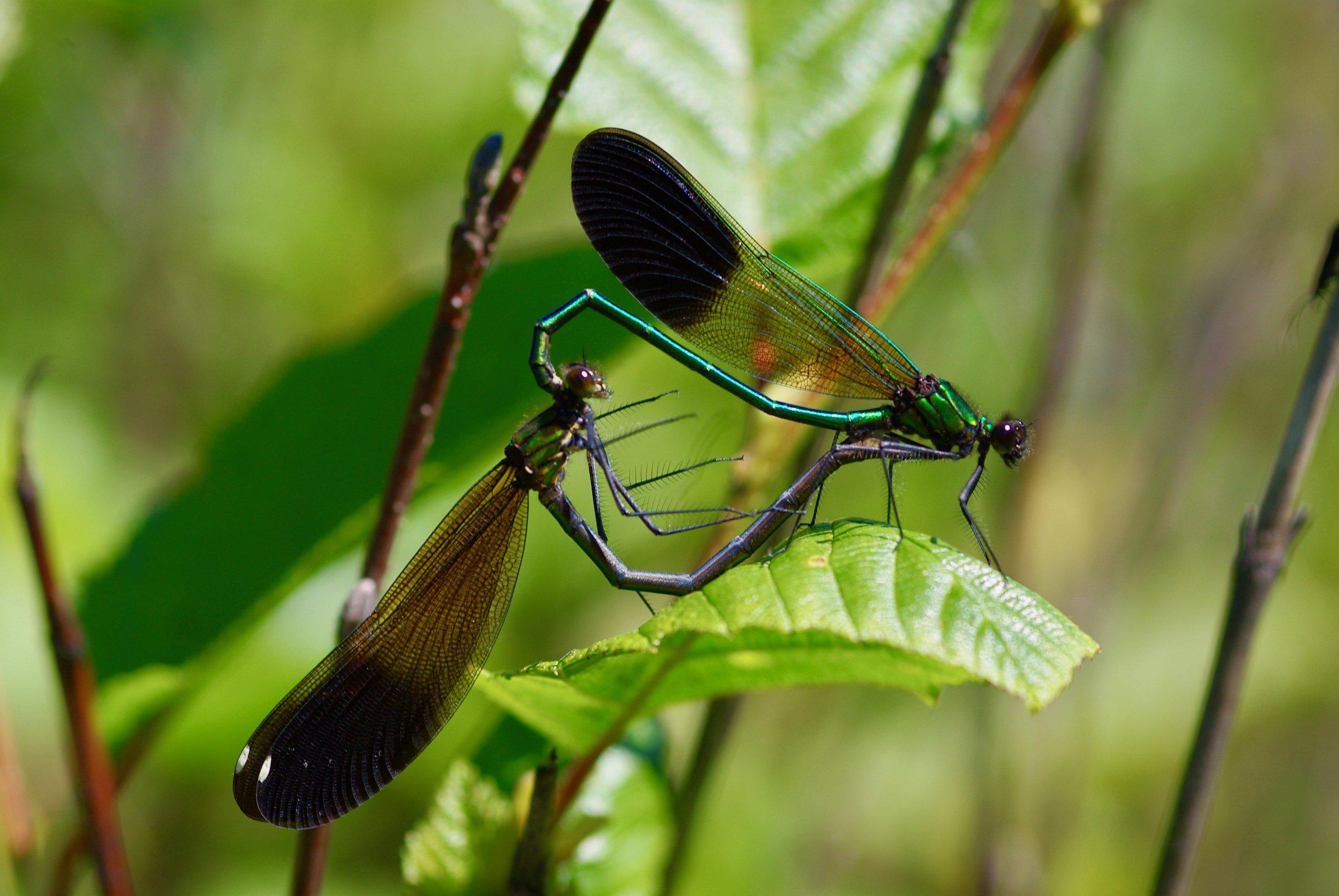 C. maculata female and C. aequabilis male (!) in Au Sable, MI