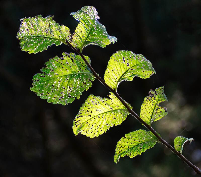 DIGITAL - Set Subject (Backlit) - Commended - Harding Tony, Leafy backlit