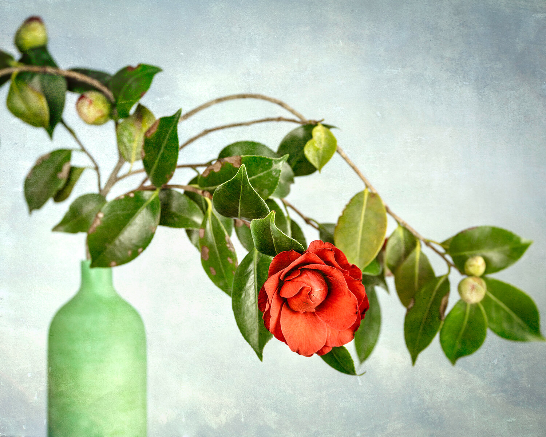 Jenny's Camellias