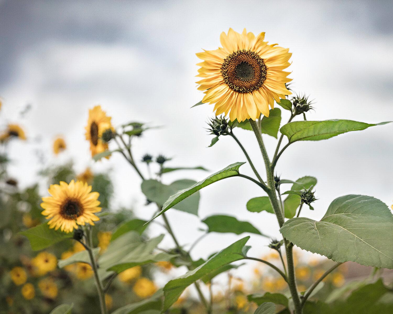 Manneville-la-Raoult Sunflowers