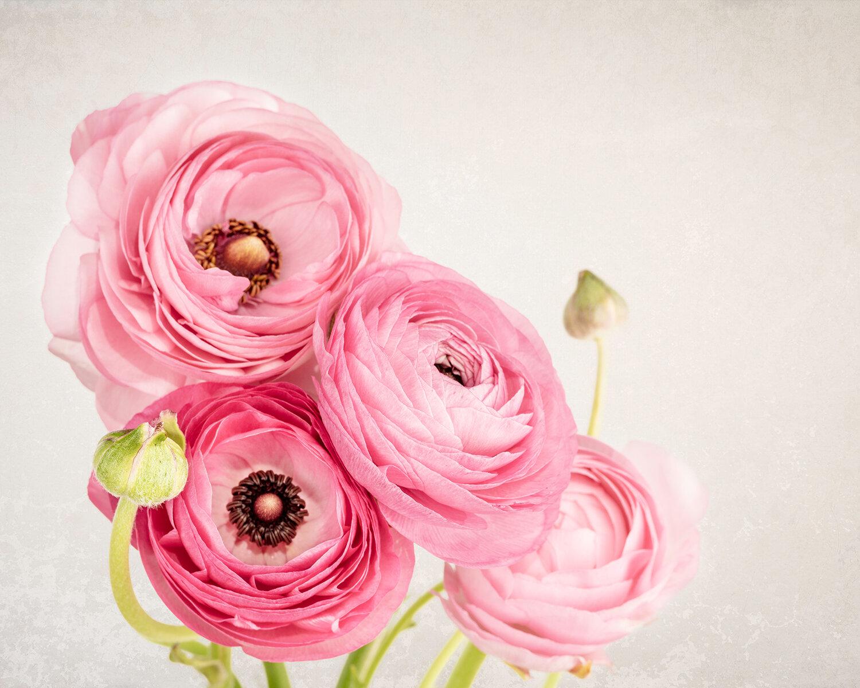 Pink Persian Buttercup Ranunculus