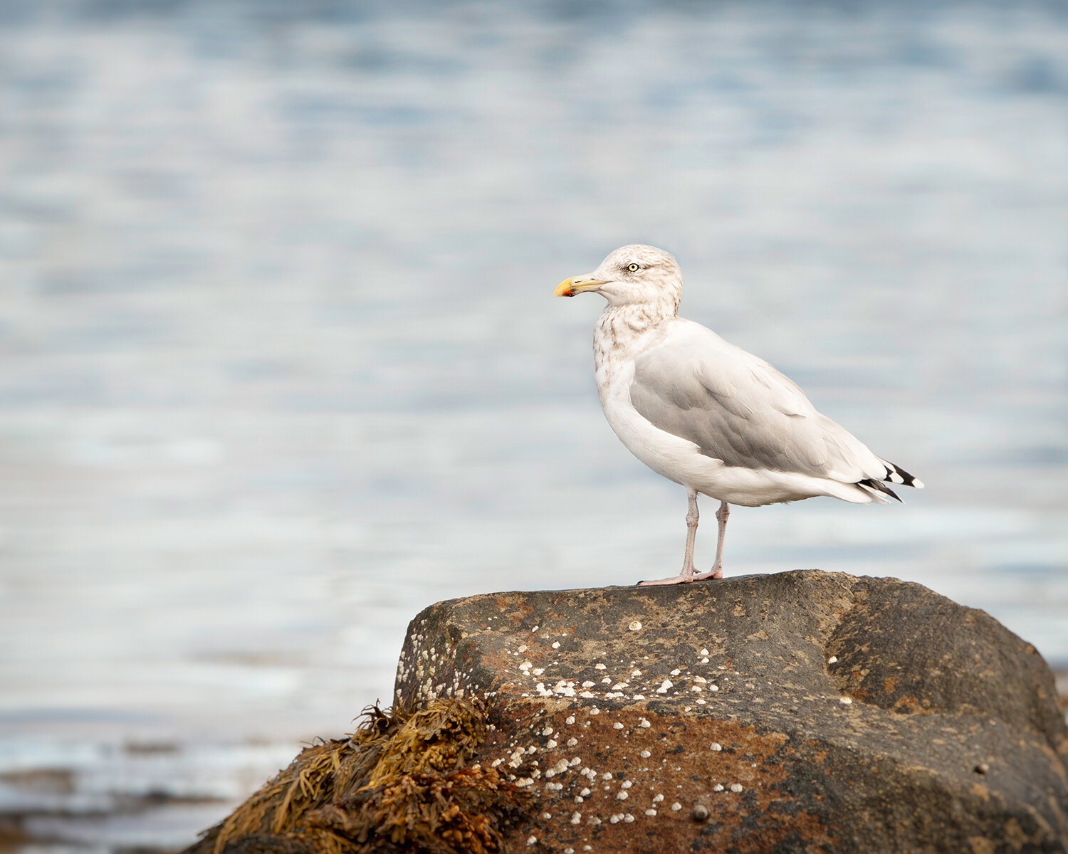 Seagull at Owl's Head