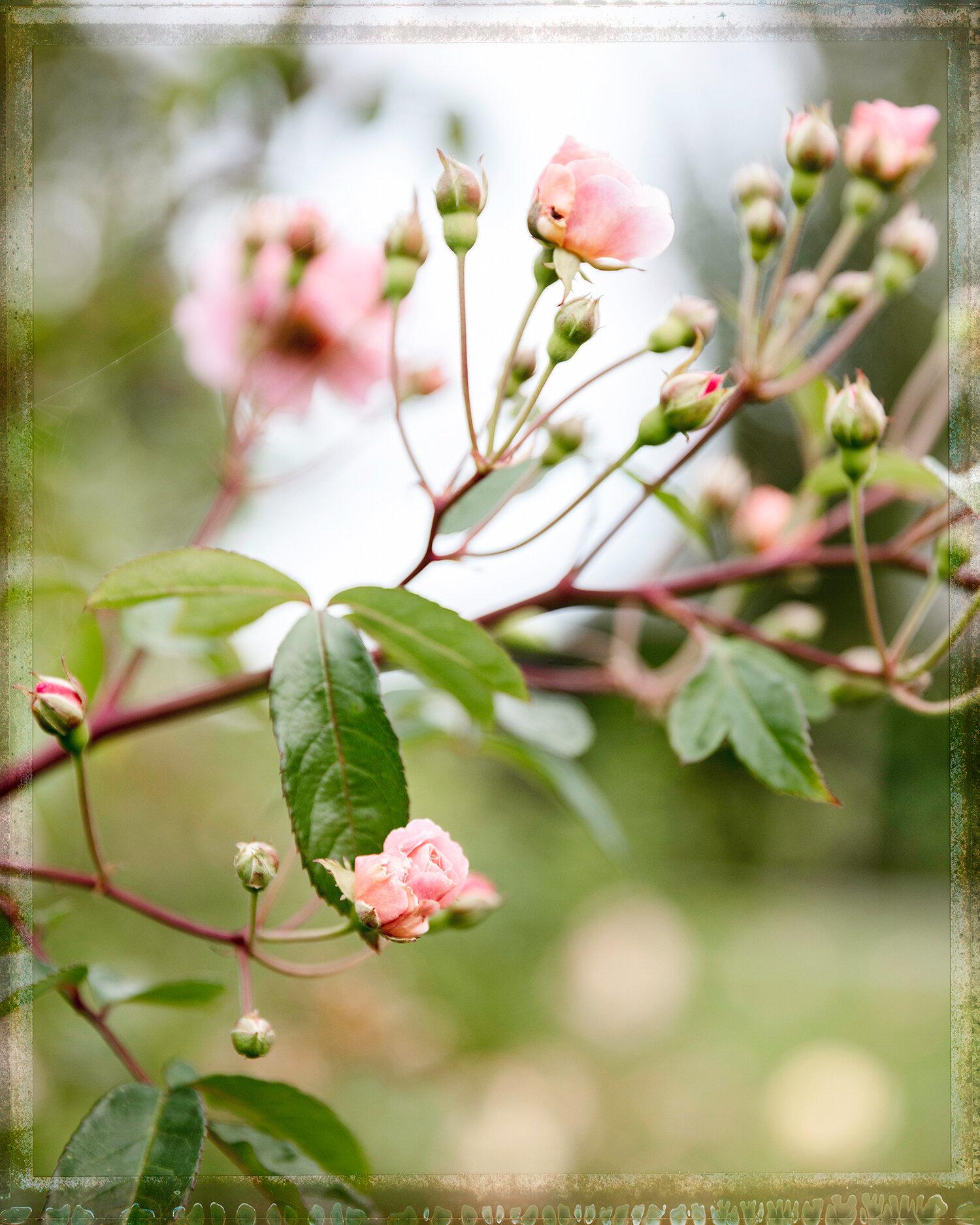 Les Roses à Manneville