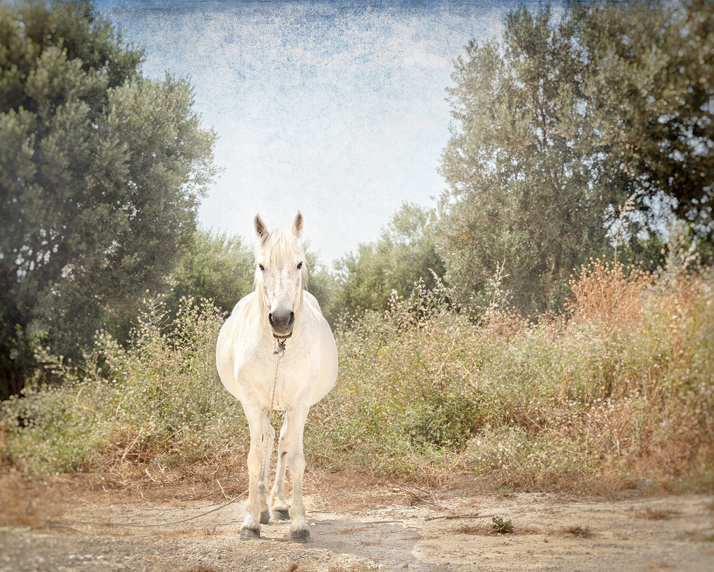 laura_farrell_photography_phaethon_white_horse_crete_greek_countryside_greece_1500w.jpg
