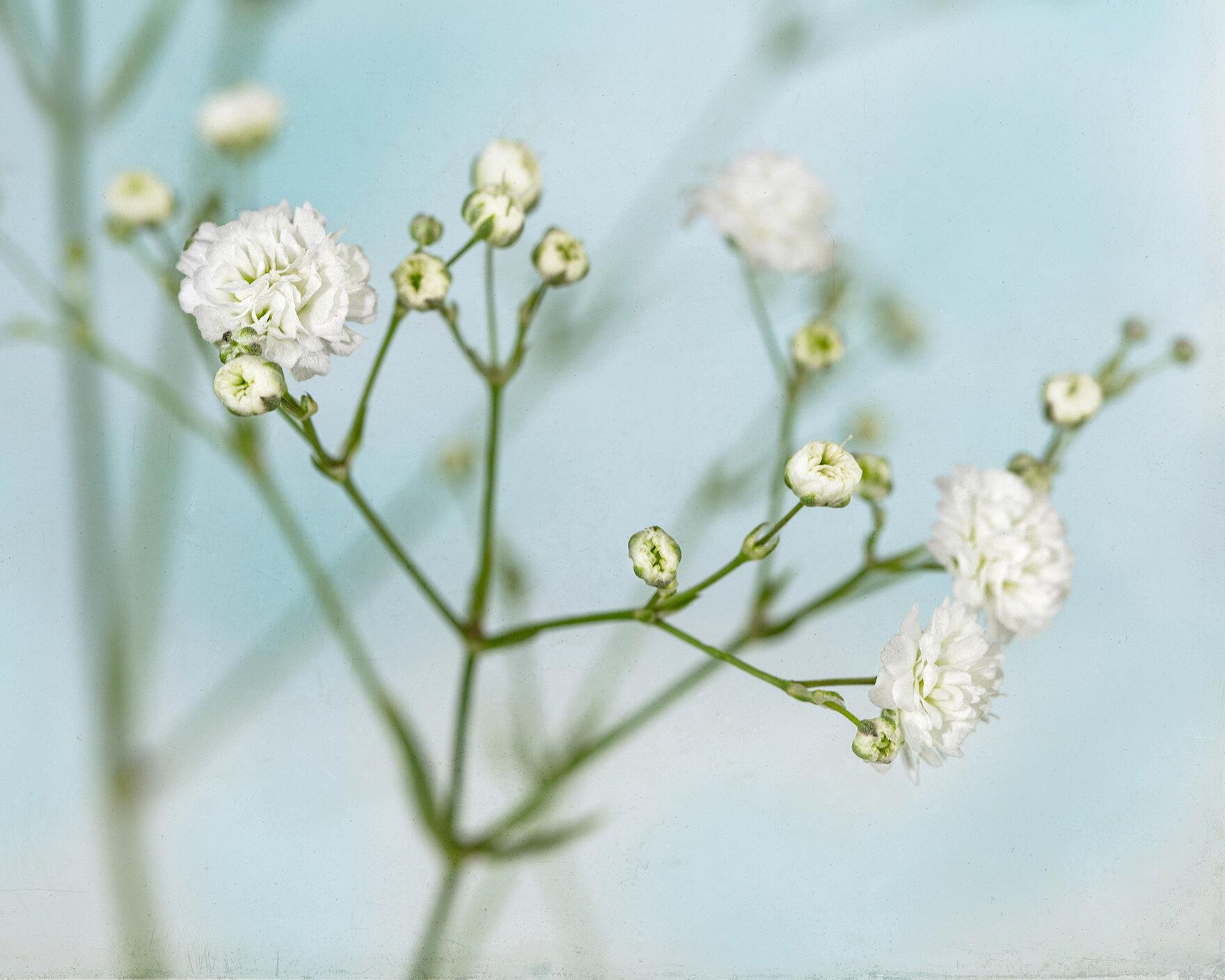 laura_farrell_photography_babys_breath_studio_flowers_blue_1500w.jpg