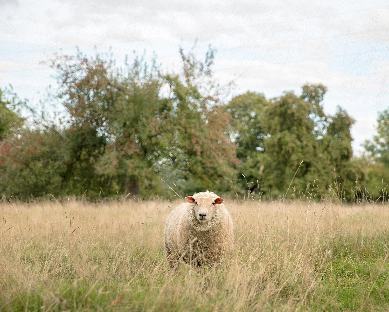 laura_farrell_photography_bertrand_sheep_straight_gaze_normandy_france_wool_1500w.jpg