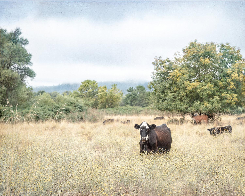 laura_farrell_photography_fine_art_animal_portraits_la_vache_taylor_ranch_mendocino_county_grazing_cow.jpg