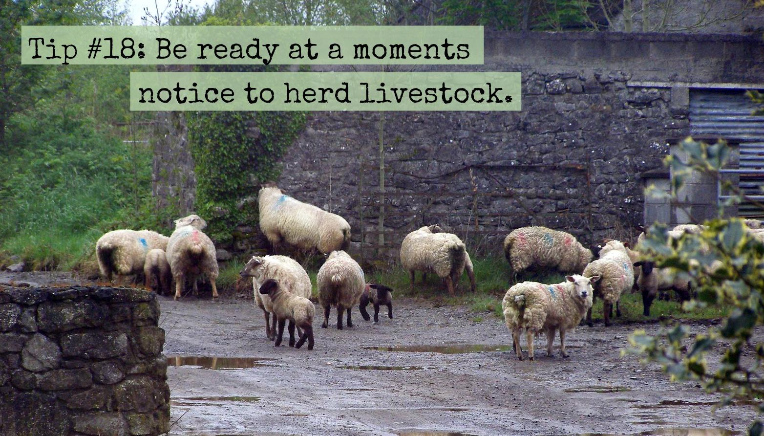 tip-18-sheep1.jpg