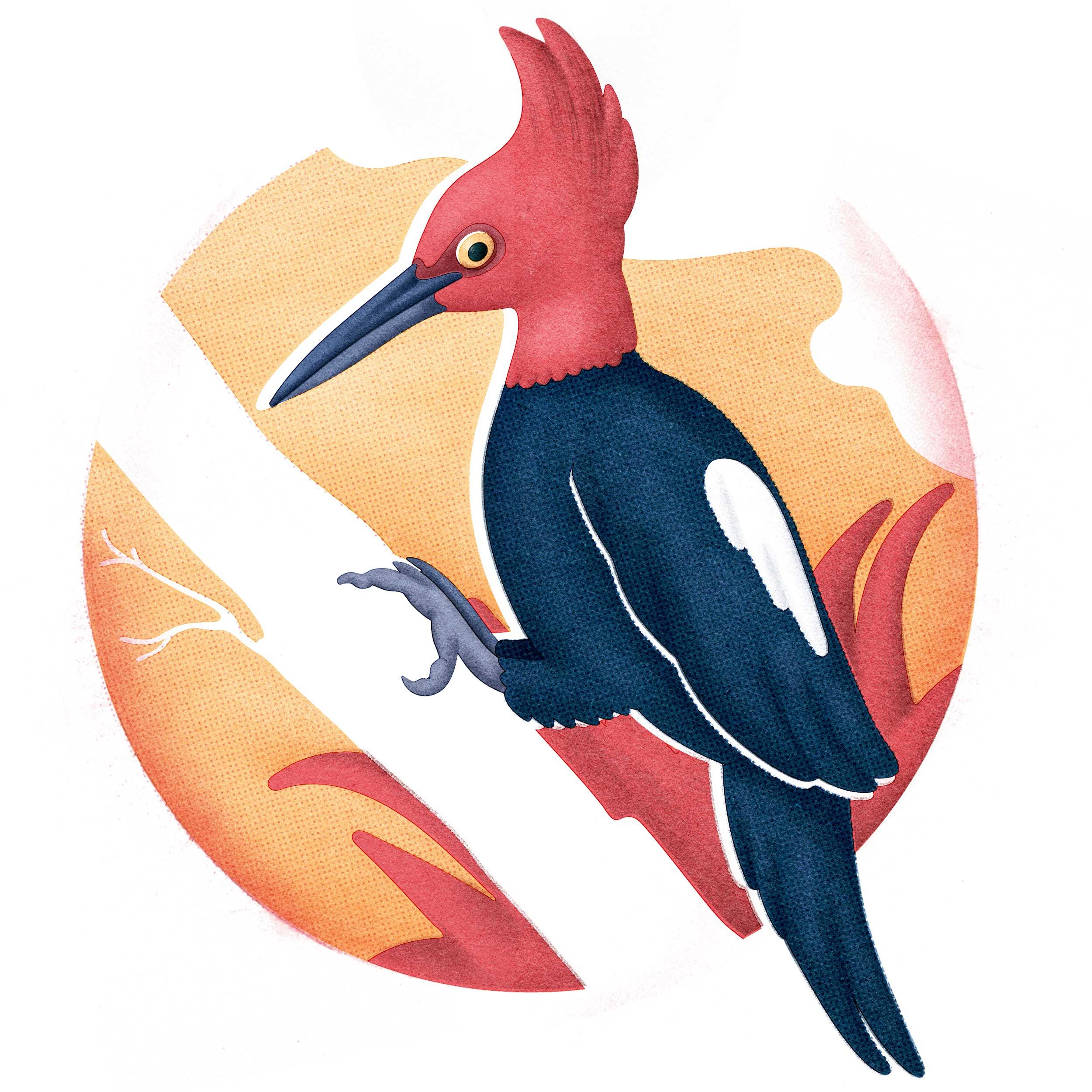 Magellenic-Woodpecker.jpg