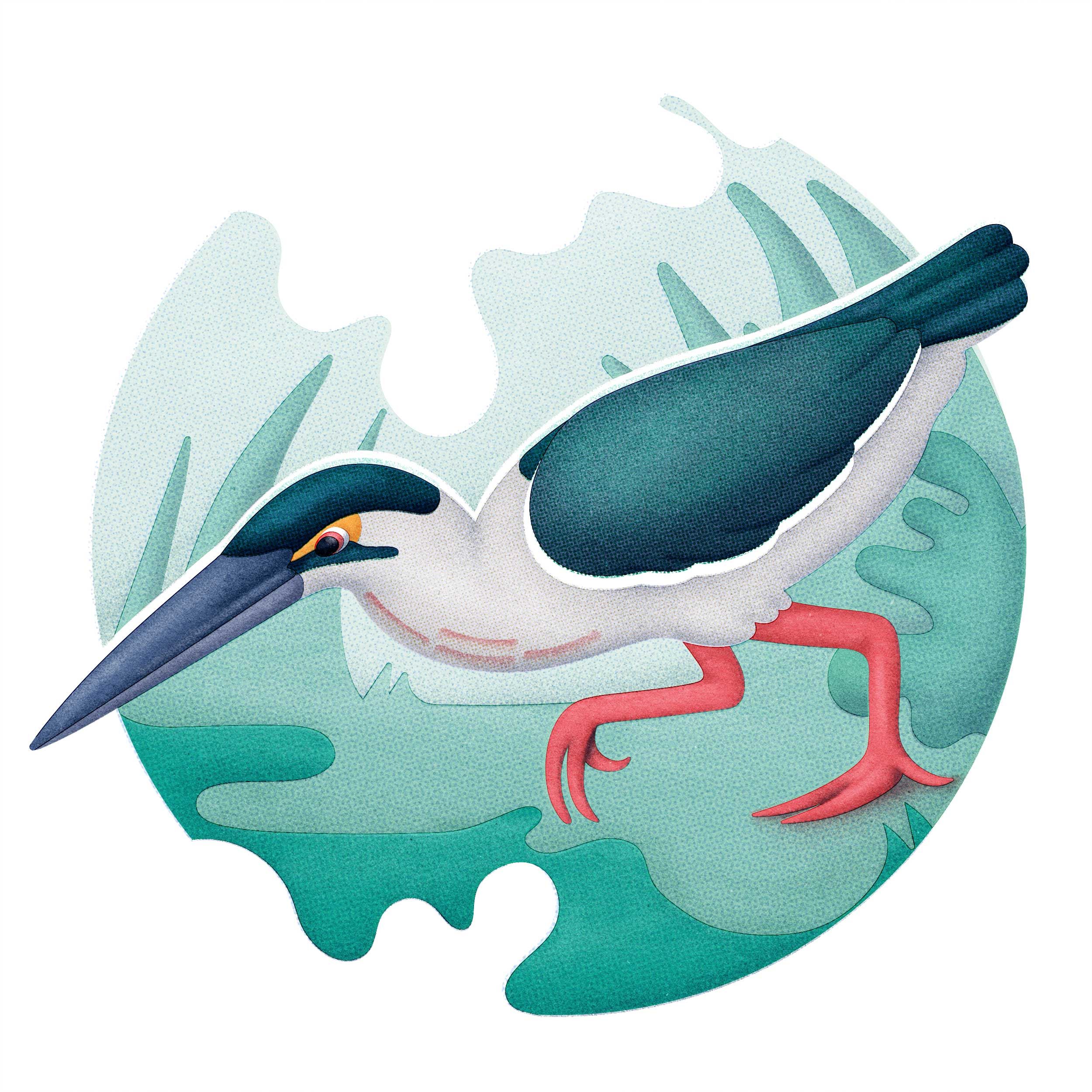 Striated-heron.jpg