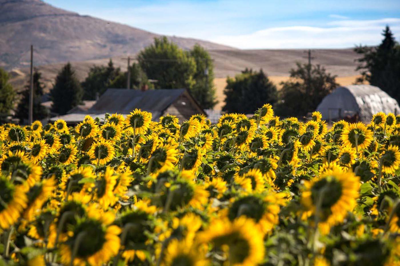 palouse_sunflower.jpg