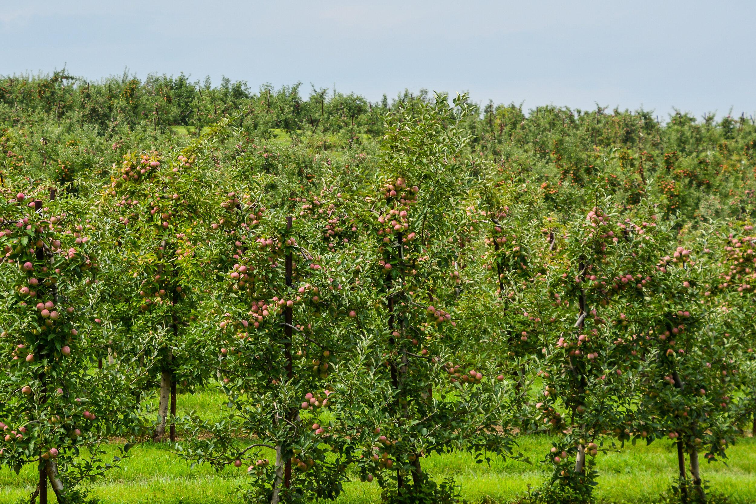 Blue Hills Orchard_Apple trees ZO.jpg