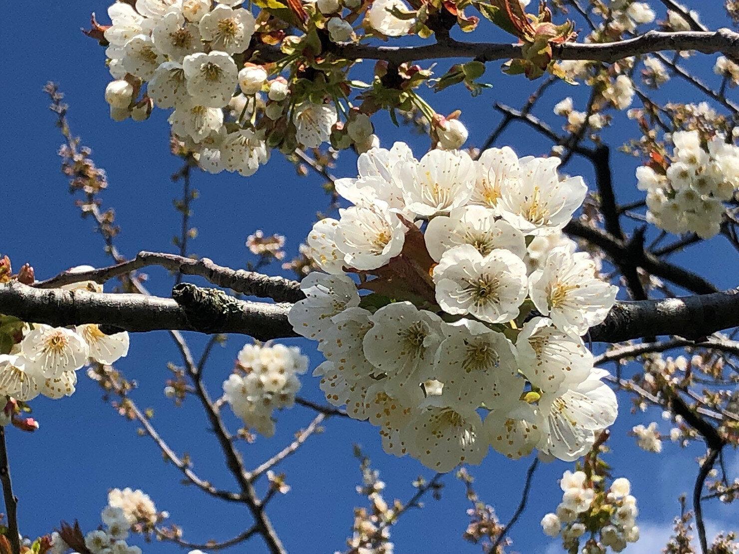Kirschbaumblüten im Baselland