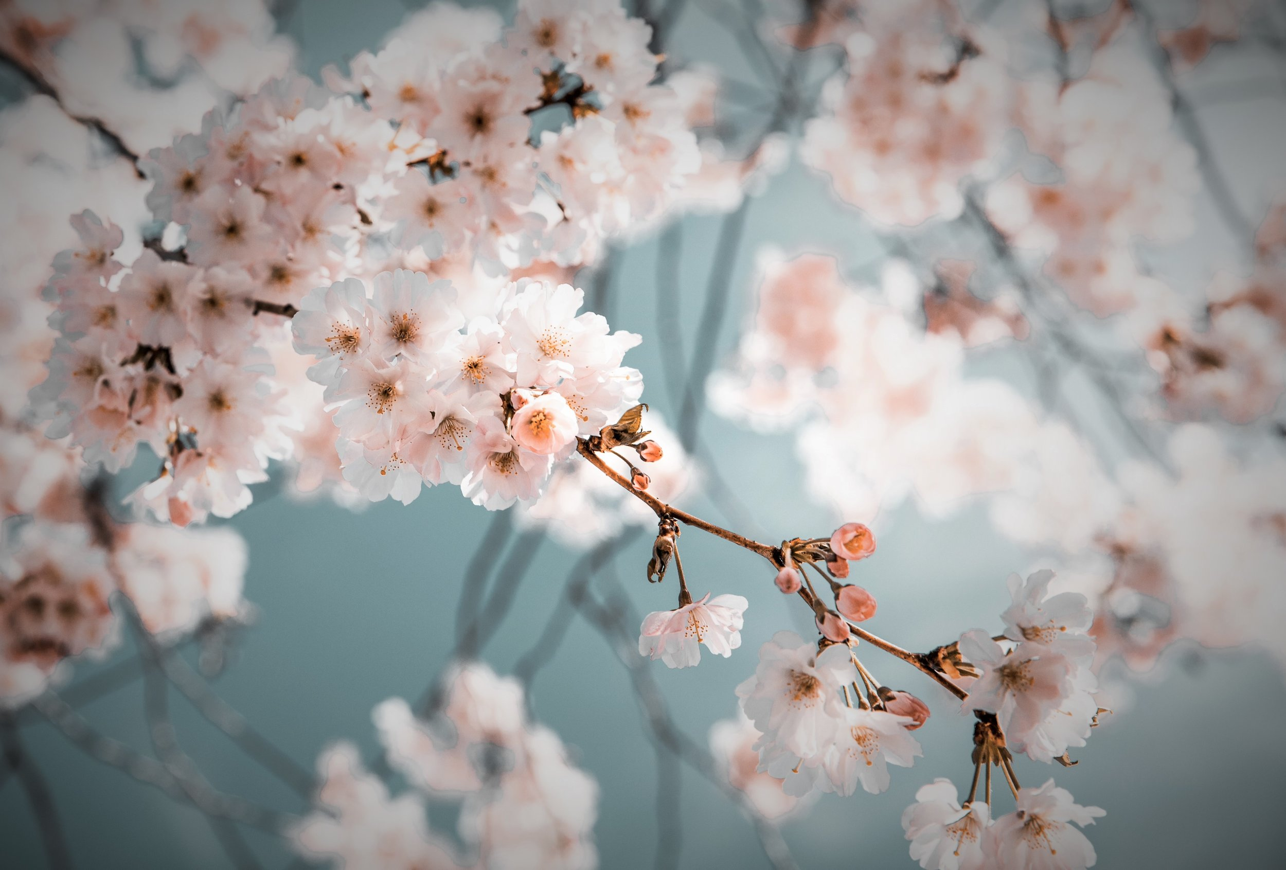 blossom-branch-desktop-backgrounds-2101187.jpg
