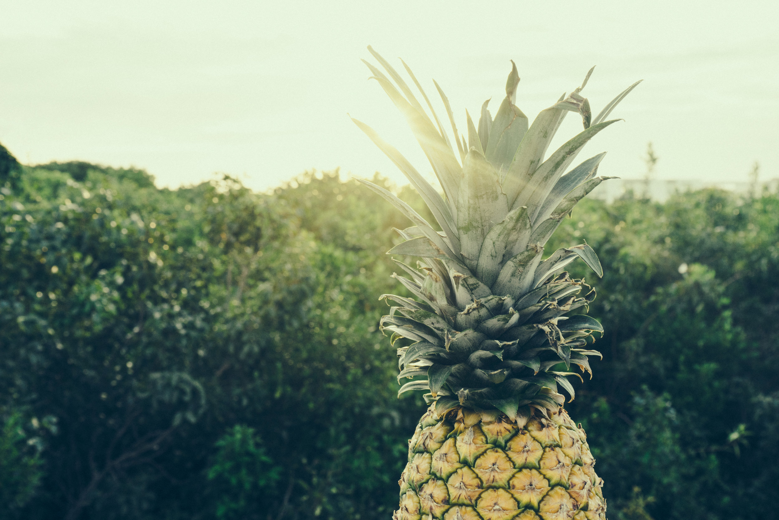 We Make the Best Pineapple. Period. - Curious?