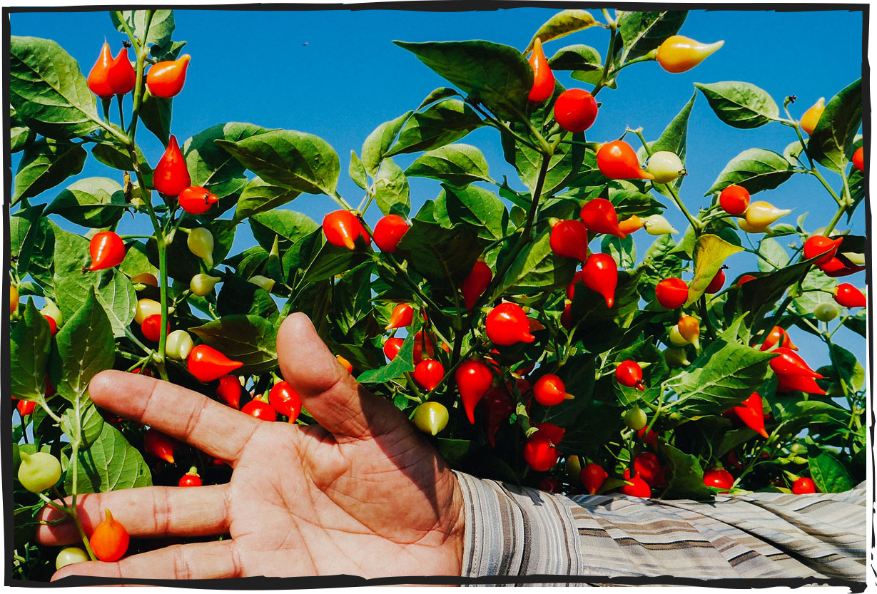 Direct from the source. - Our peppers are processed in our FSSC2200 and Kosher-certified facilities in Ecuador and Peru. We also create custom product lines in partnership with customers and other companies.