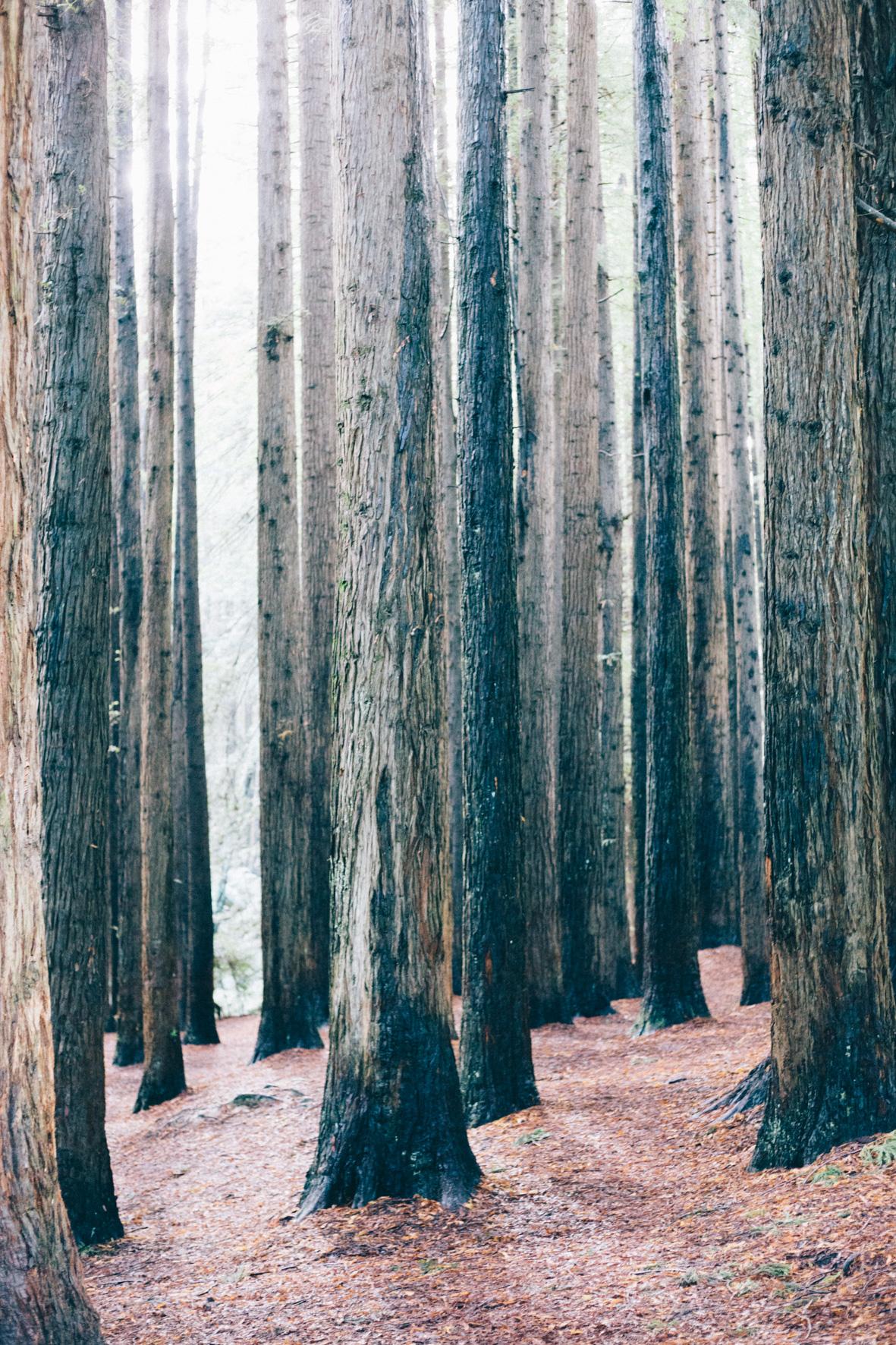 red woods.jpg