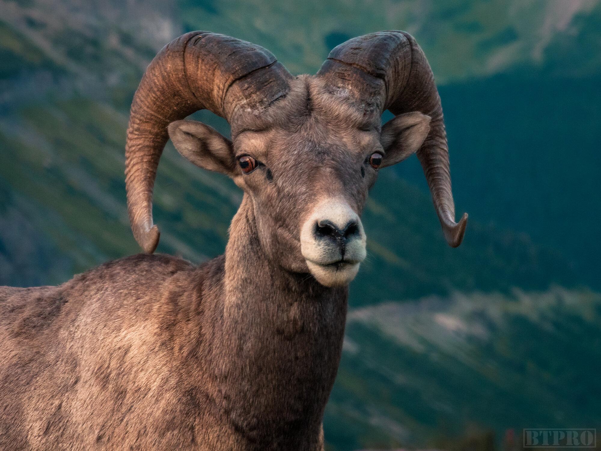 Bighorn Sheep at Hidden Lake Overlook