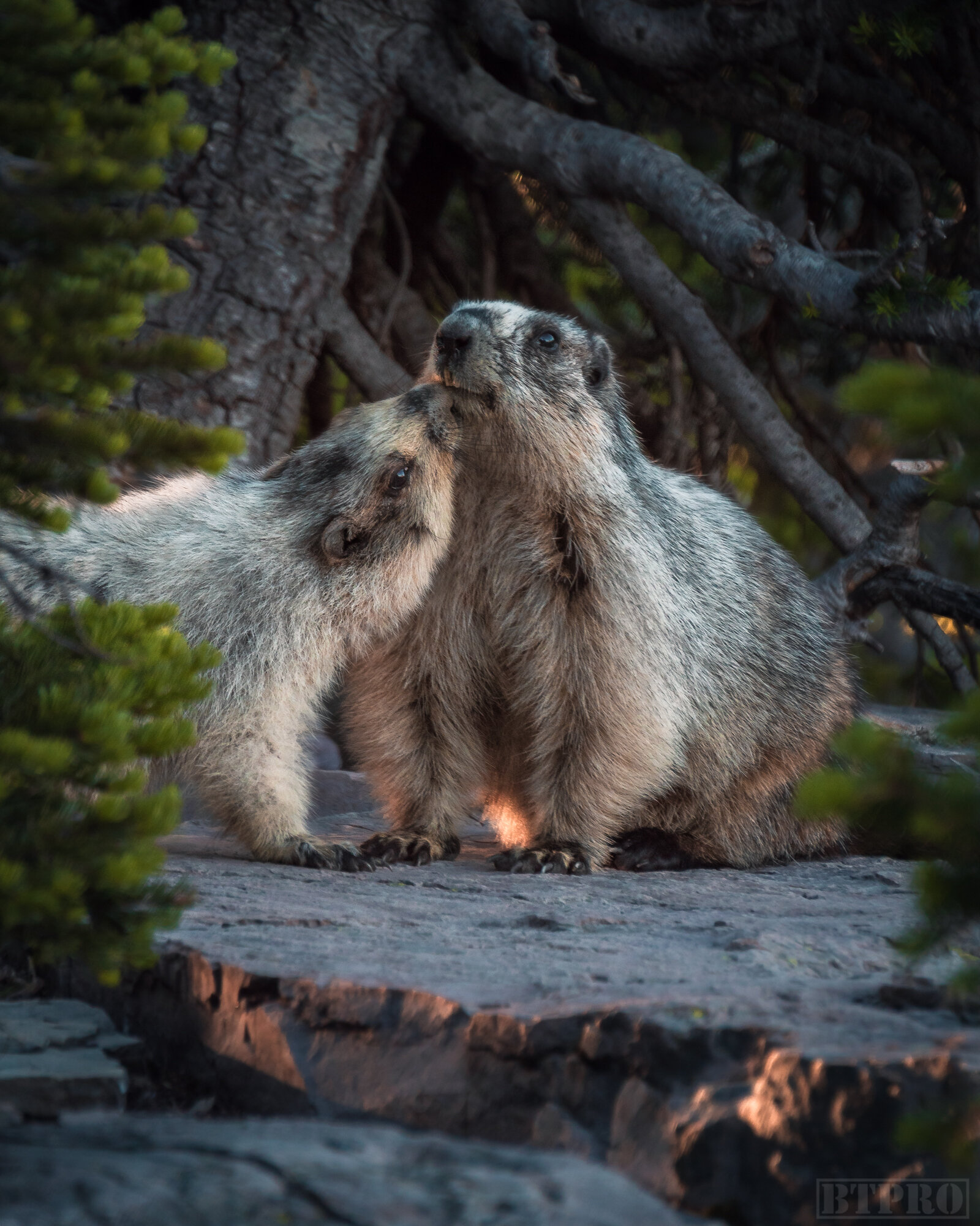 Marmots at Hidden Lake Overlook