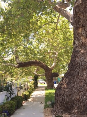 California Sycamore Trees on Bienveneda