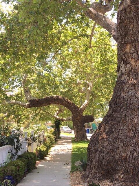 Sycamore Trees of Bienveneda 1922-current