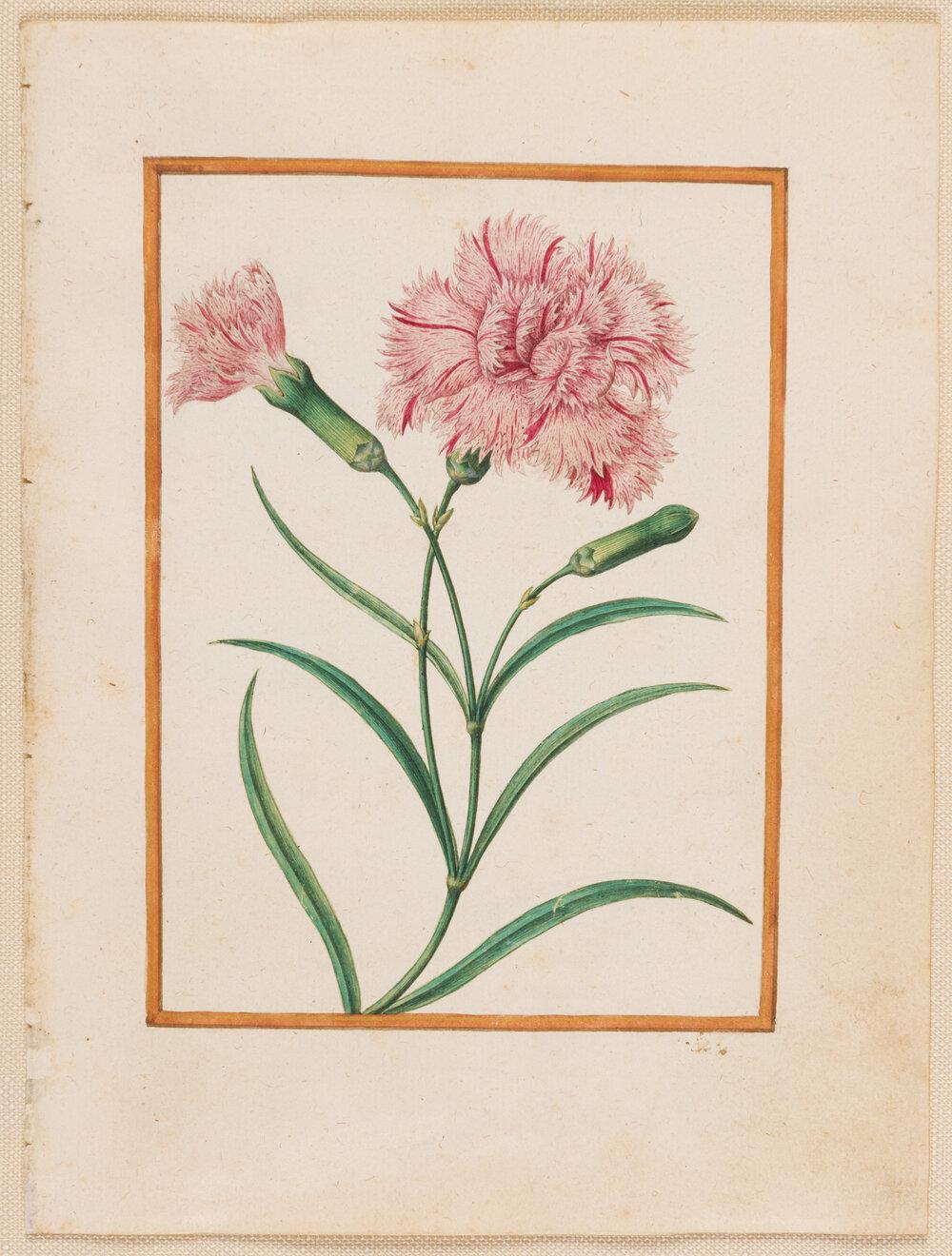 Jacques Le Moyne de Morgues (1533-1588), ' Clove Pinks (Dianthus caryophyllus) ', watercolour and gouache on paper prepared as vellum, 139 x 100 mm.  Image courtesy of  Stephen Ongpin Fine Art .
