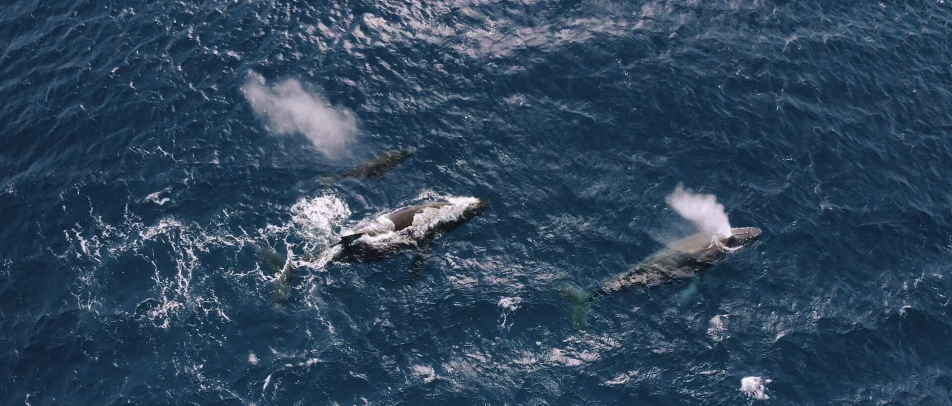 Whales during and elopement at Maui Hawaii Beach