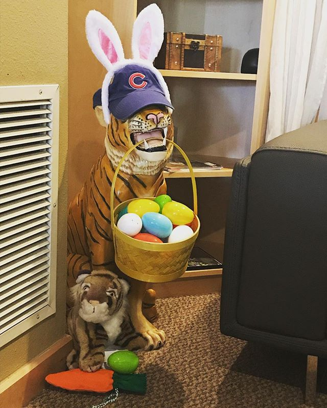 Sometimes the studio tiger has more than one interest on a given day. #somakinetics #downtownkent #happyeaster #gocubsgo