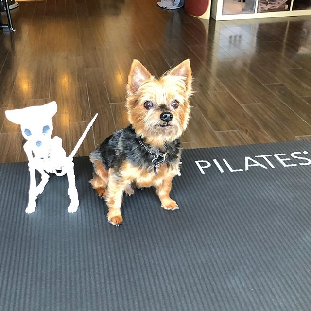 BREAKING NEWS: Research confirms Biscuit is in fact bigger than the studio's puppy skeleton. #somakinetics #dogsofpilates #wearekent #studiopuppyskeletonneedsaname