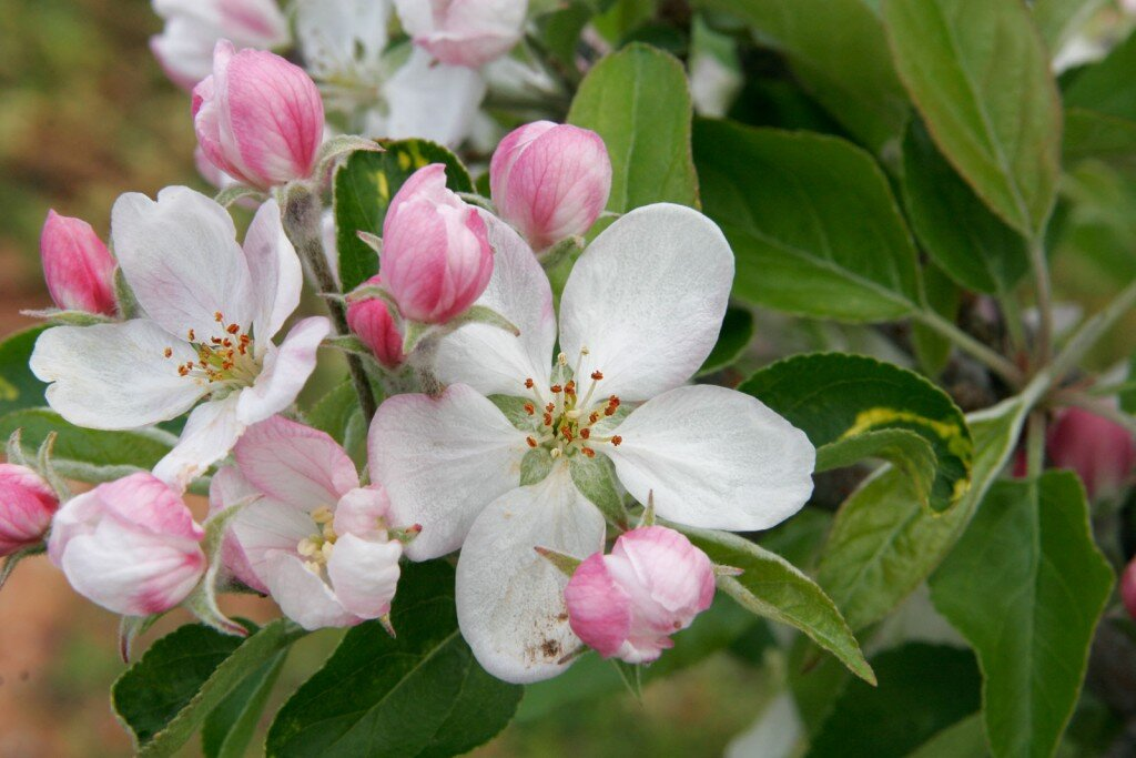 White and pink flowers with blooms and buds