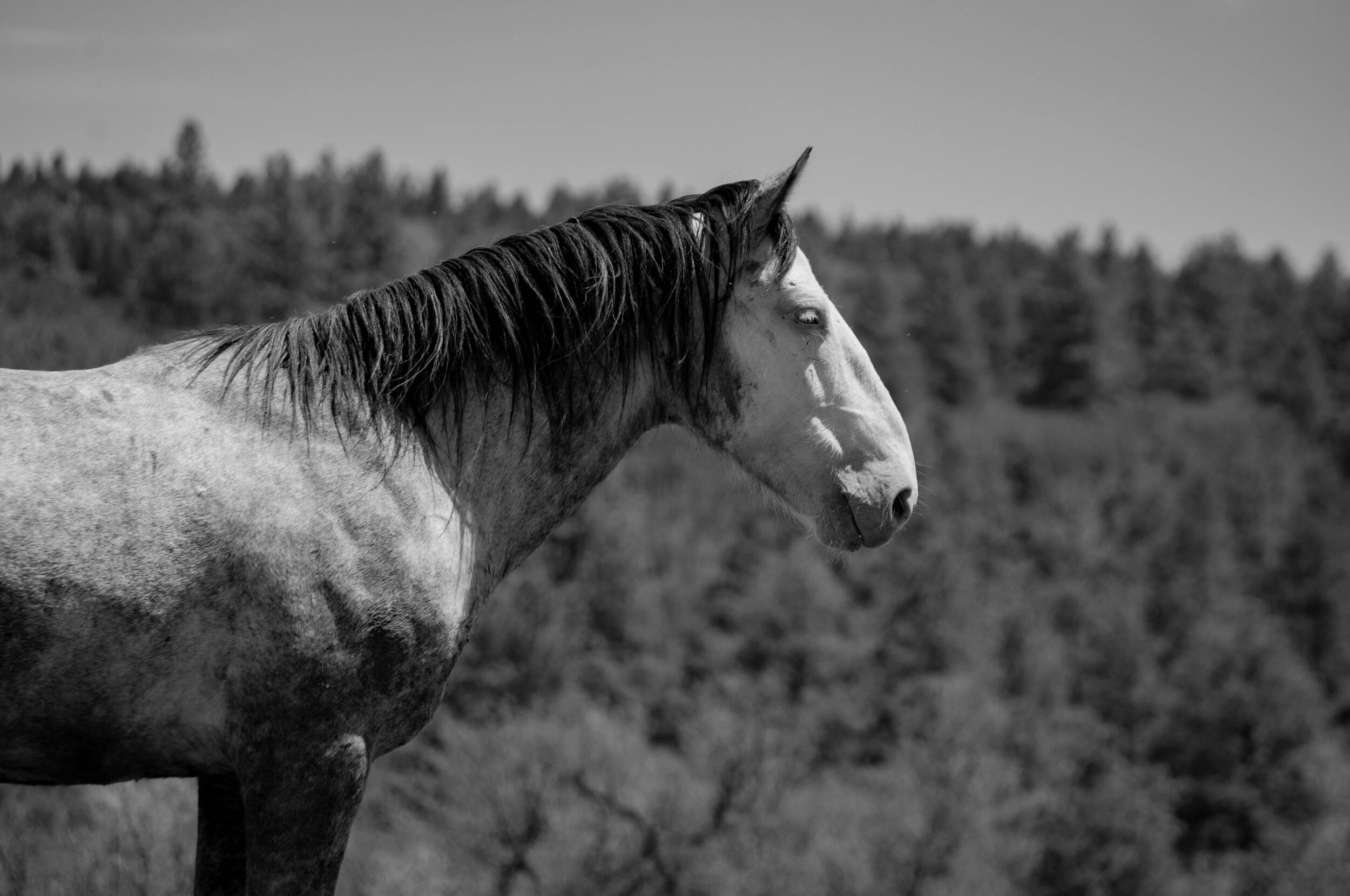 Why Wild Horses, Why Now? - Click to learn more