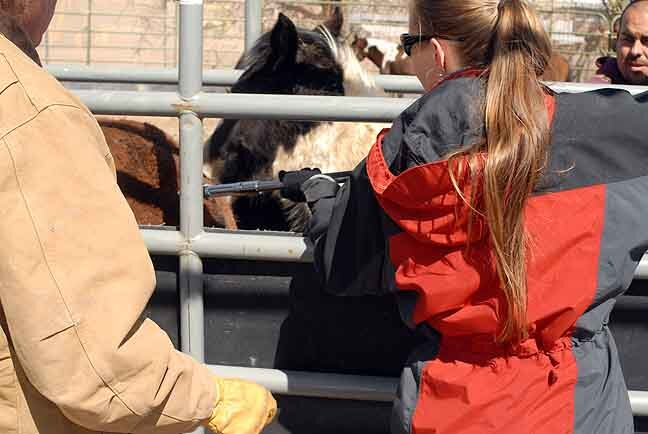 The first mares from a U.S. Forest Service Wild Horse Territory receive PZP treatment ~ March 2009, New Mexico.