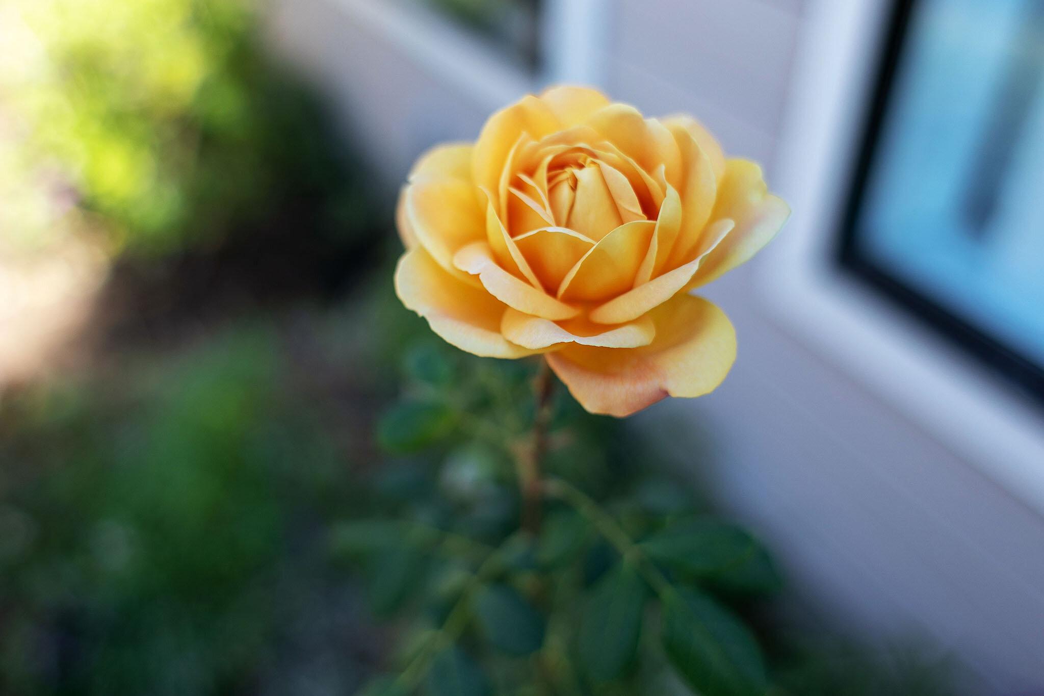 39 rose.jpg