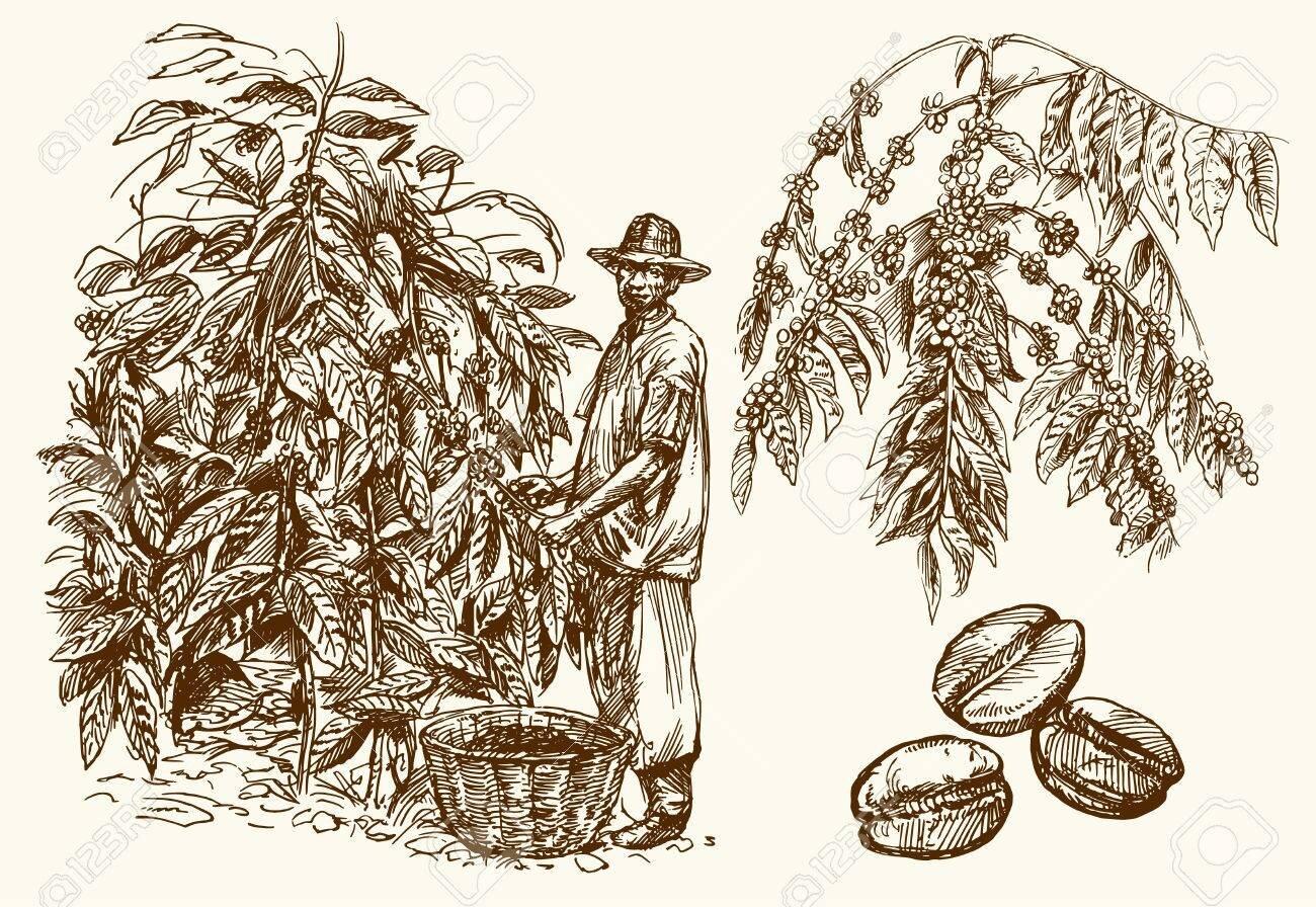 coffee-farmer-picking-coffee-beans-on-coffee-tree-.jpg