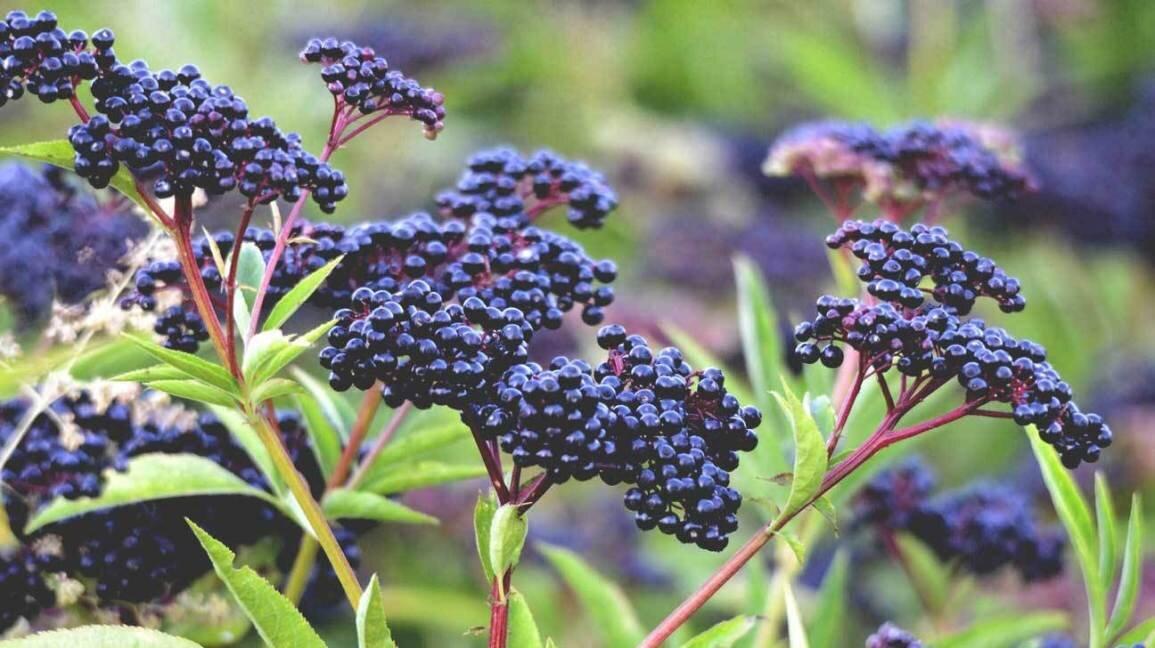 elderberry-plant-and-berries-1296x728.jpg