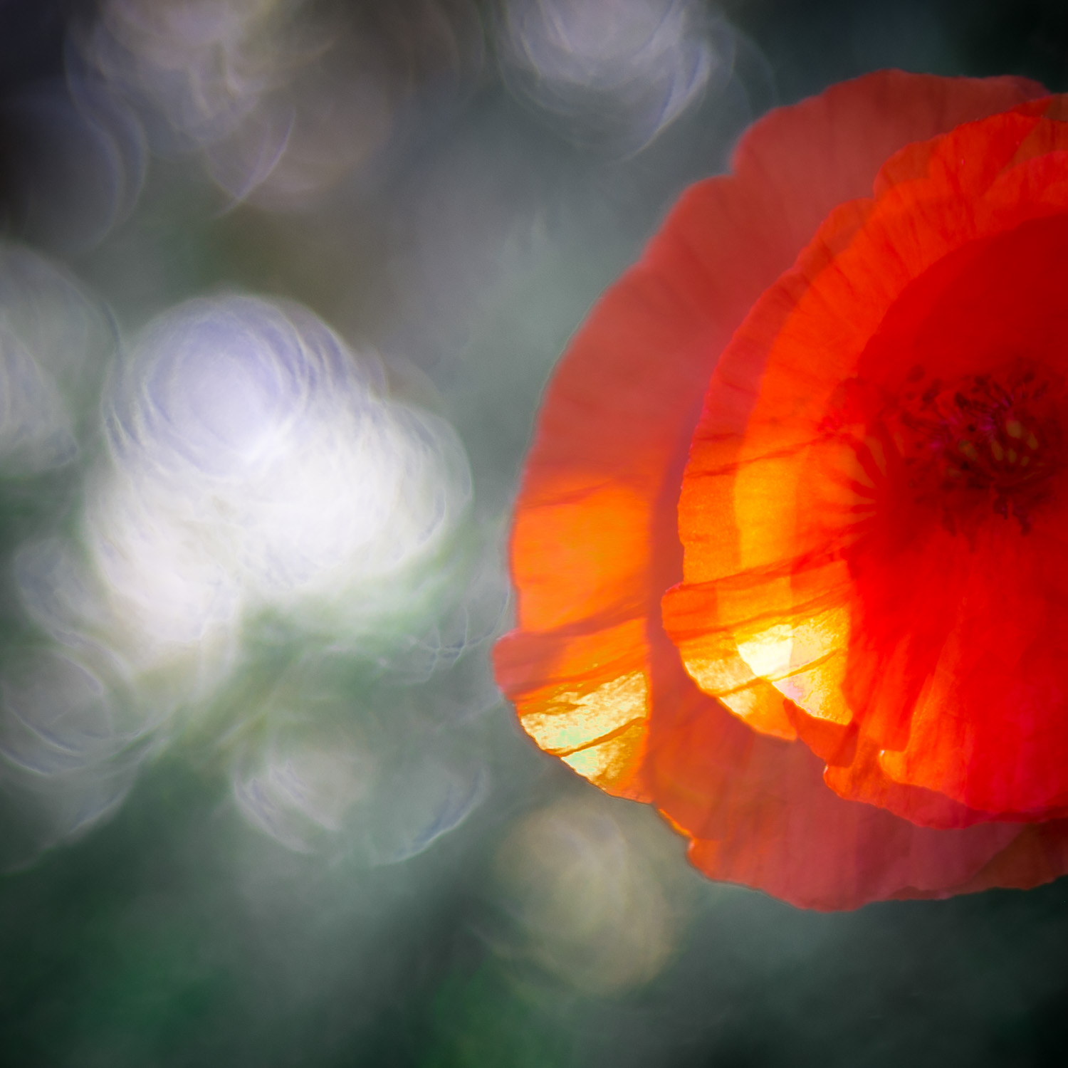 Portrait Of A Poppy - II