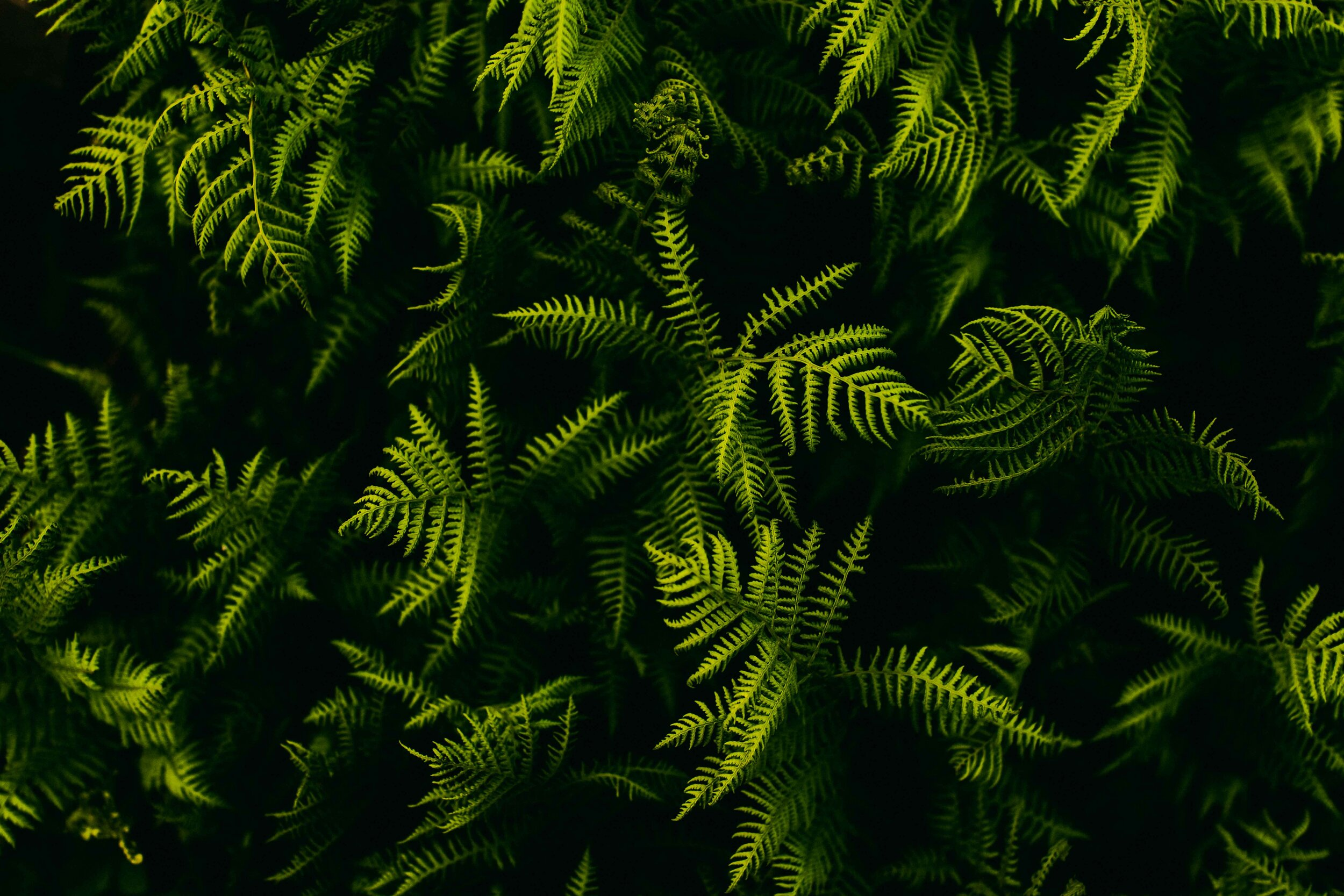aerial view of lush green ferns