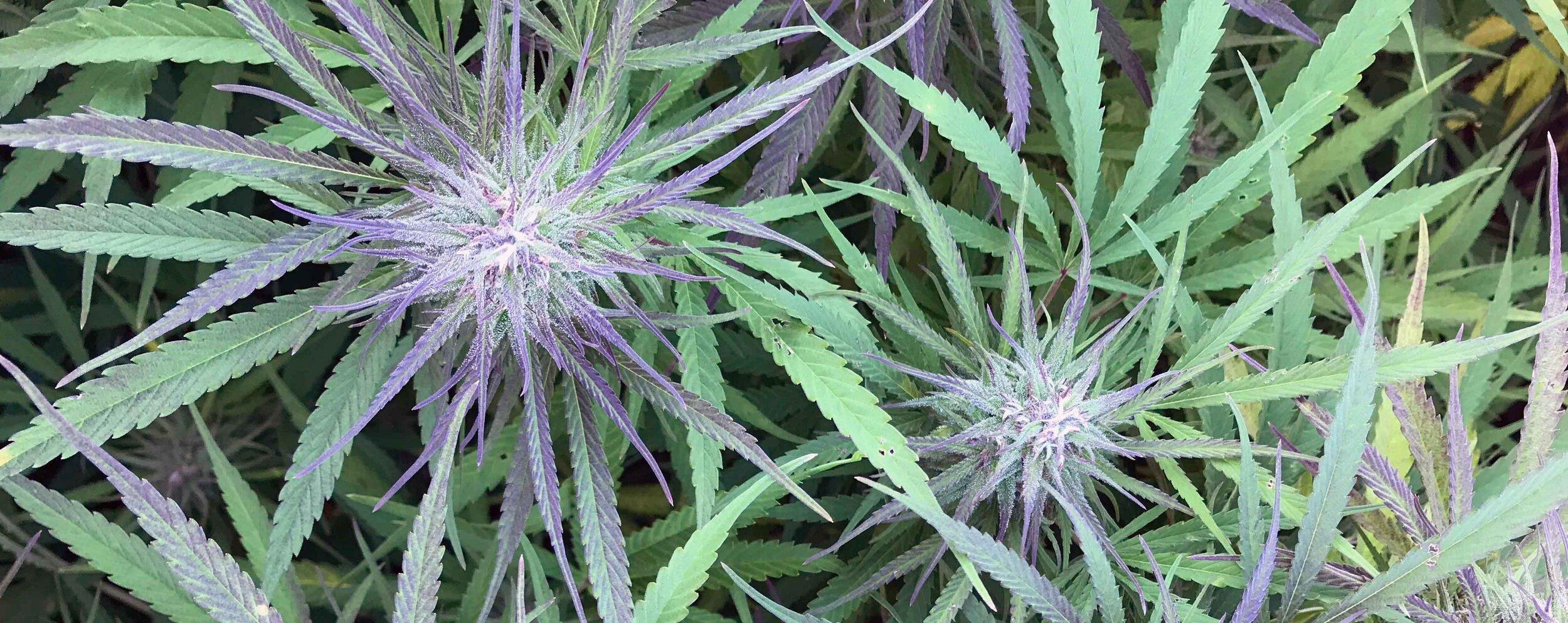 purple hemp strip.jpg
