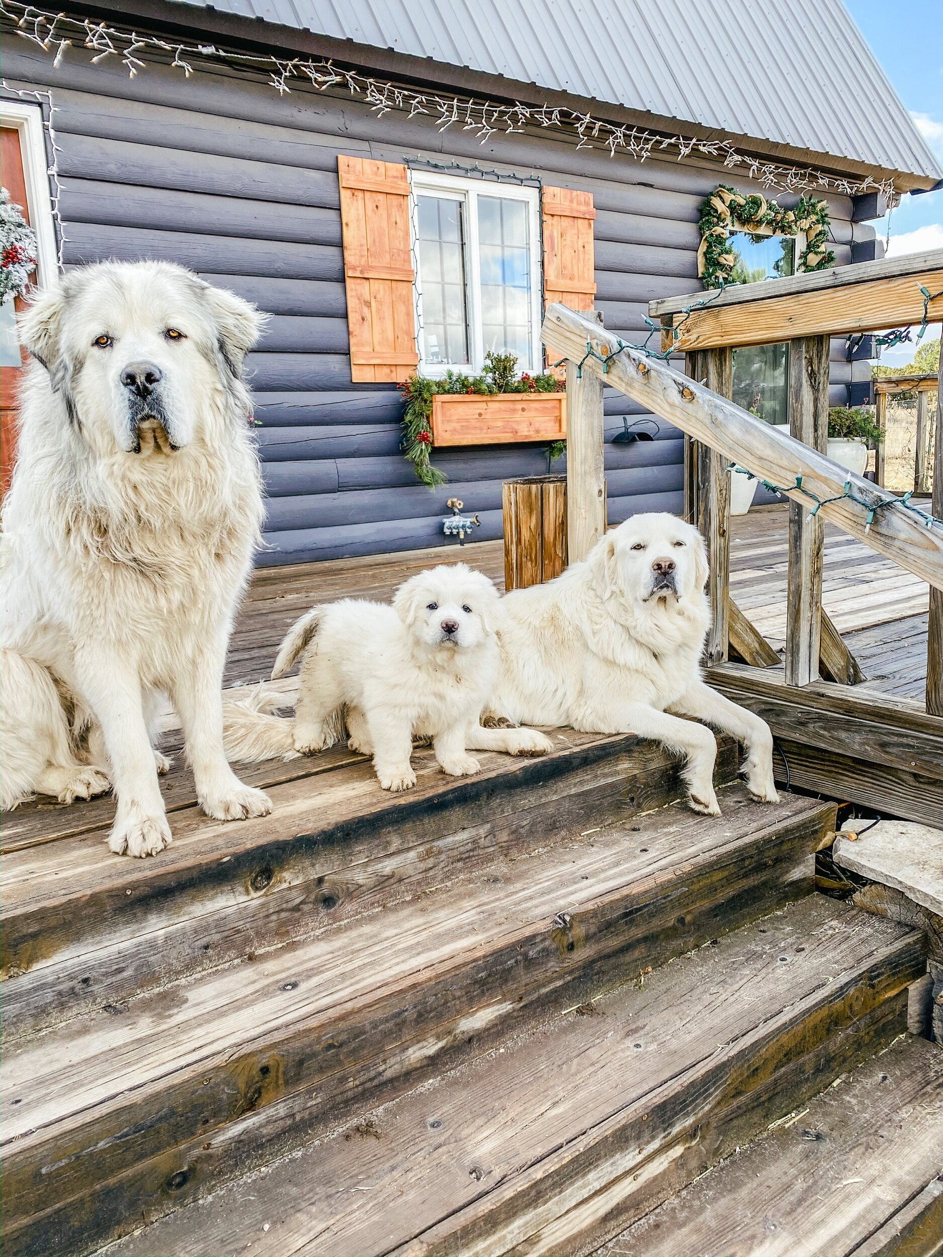 Our Great Pyrenees Wait List For Puppies The Harvest Trail