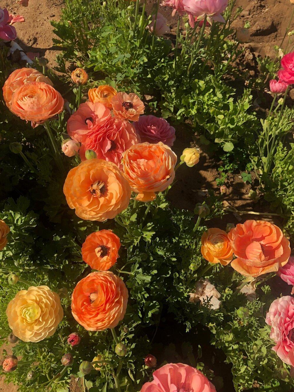 carlsbad_ranch_flower_field_closeup.jpg